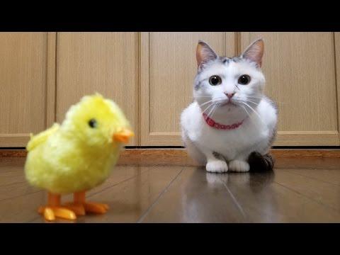 ひよこのおもちゃを追う猫【ネコ吉LIFE part4】Cute Cat Videos part4