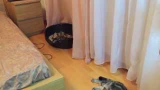 Шотландские вислоухие котята мраморного окраса