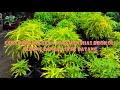 tutorial Cara stek batang pada tanaman hias brokoli kuning