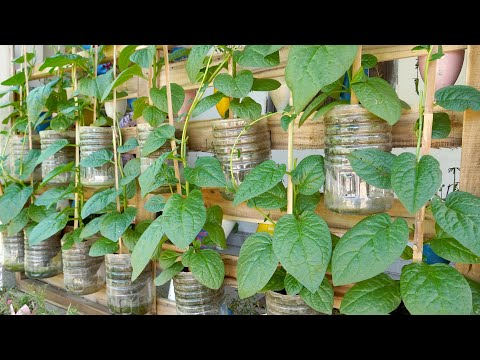 Recycle Series of Plastic Bottles Growing Vegetables at Home, Grow Malabar Spinach