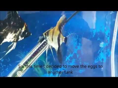 Angelfish Breeding: Angelfish Fry Grow From Eggs To Wigglers To Free Swimming