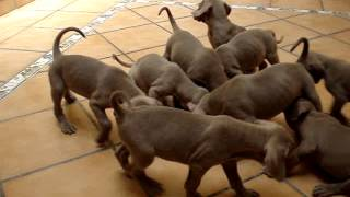 Puppies Weimaraner De Knock Out Grey Classic's & Ch. Mira Da Mae D'agua 26may2013