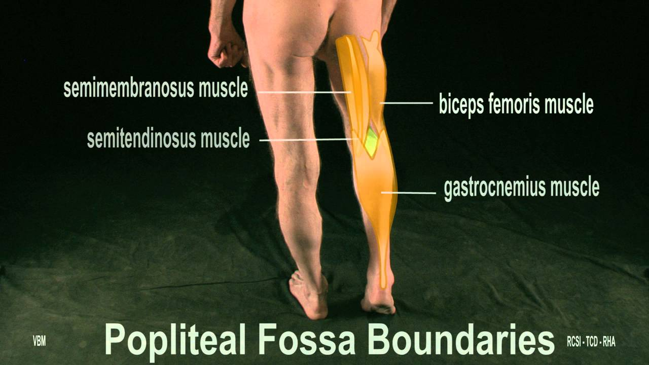 Surface Anatomy - Posterior Thigh Popliteal Fossa (2D) - YouTube