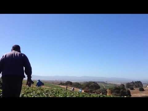 Piscando fresas en salinas California