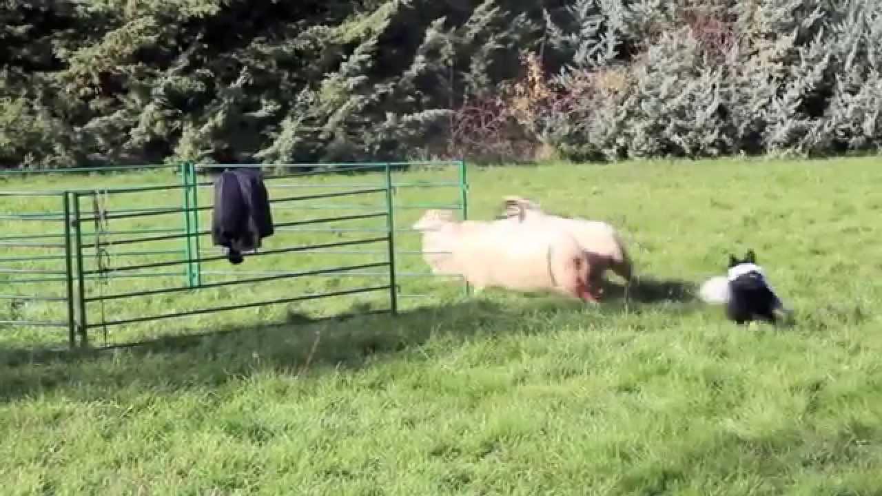 Sheepdog all'allevamento border collie di Petrademone