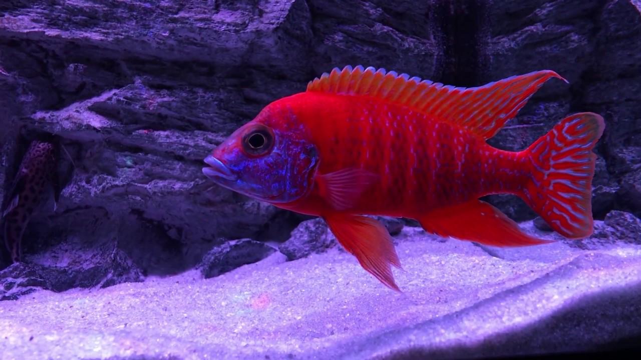 Aulonocara Ruby Red Peacock update