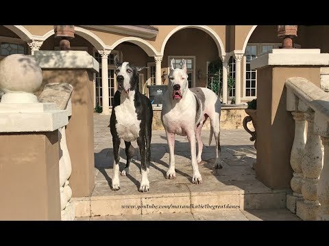 Happy Great Danes Play Together on Patio Lounger  ~ Dog Photo Bomber