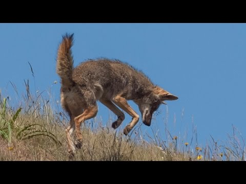Coyotes On Mushrooms Going On Bad Trip In California