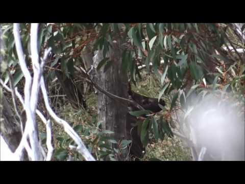 Kevin Gittings Cliff sambar stag