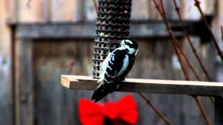 Downy Woodpecker Enjoys Eating At Our Peanut Feeder
