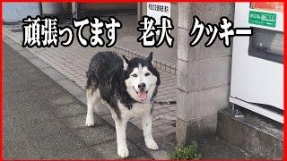 ヨタヨタしながらも日々元気に過ごすシベリアンハスキー犬 クッキー、 ...