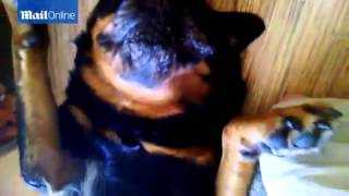 even dogs have tantrums rottweiler refuses to take his medicine by playing dead and spitting out h