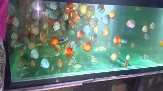Discus farm mumbai india pisces aquascape mazagaon