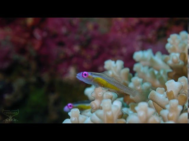 Take a Minute XII: Pink eye gobies