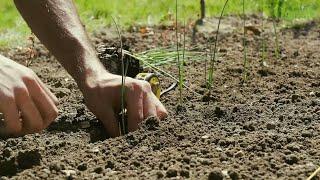 Jak sadzić rozsadę pora