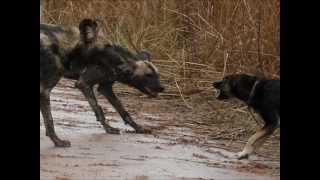 Wild dogs vs domestic dog