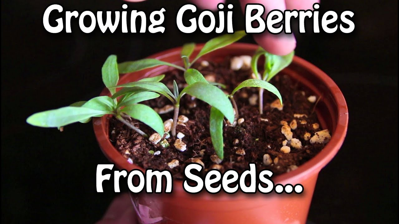 Growing Goji Berries How To Grow Wolfberries From Seed Youtube