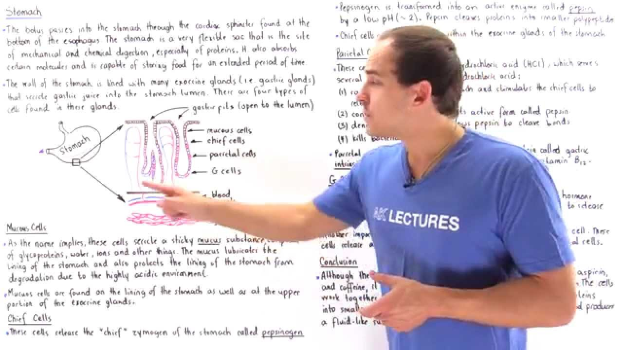 Download Stomach (Mucous Cells, Chief Cells, Parietal Cells, G Cells)