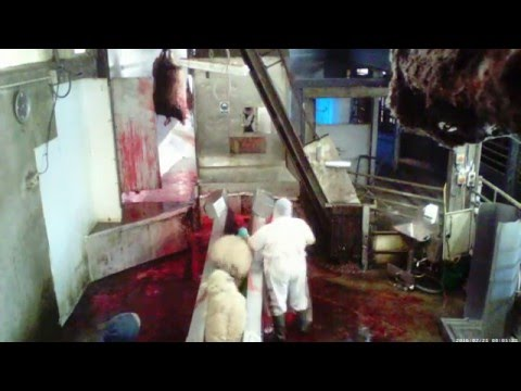 Non Stun Halal Slaughterhouse, Norfolk, England 2016