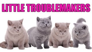 British Shorthair Kittens Misbehaving! Disaster Unfolds Try Not To Laugh  Cat Videos Funny and Cute