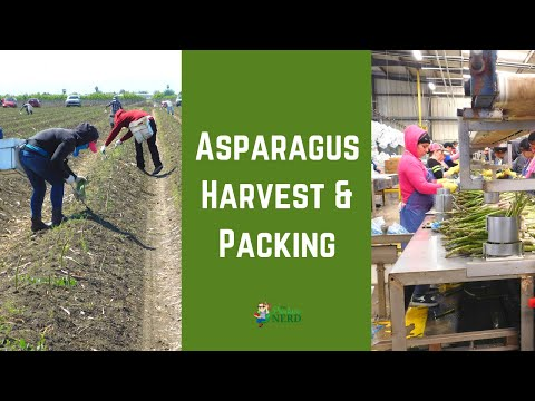 How Asparagus is Harvested & Packed