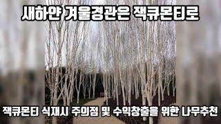 나무로 수익창출하기! 자작나무로 돈버는 방법과 잭큐몬티…