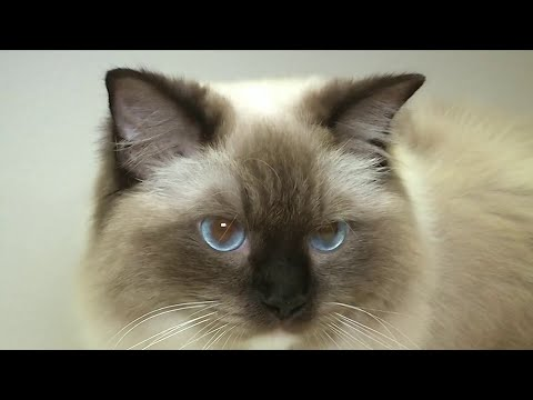 Kissimmee plays host to weekend ragdoll cat show