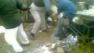 Repeat youtube video Disznóvágás 2012.02.11.