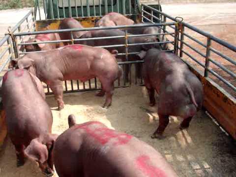 Doroc.pig@Thailand Giống lợn ở Thái Lan chờ đợi .....