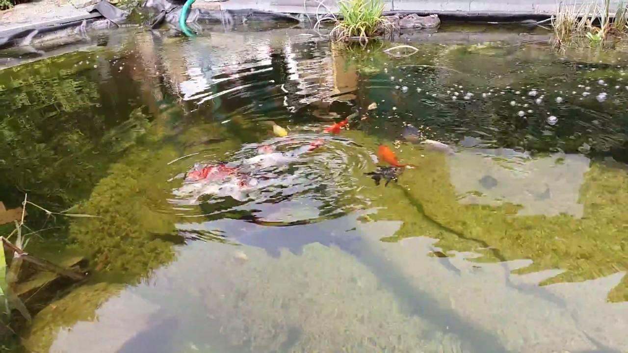 Meine fische koi goldfische und andere karpfen youtube for Koi und goldfische