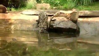 Кот-рыболов , Fisher - Cat