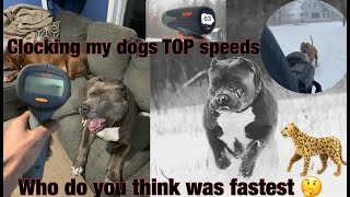 THE HULK LIFE: I clocked all my dogs TOP SPEED with RADAR! shocking results! hulk got hurt!!