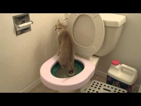 Potty trained Singapura cat
