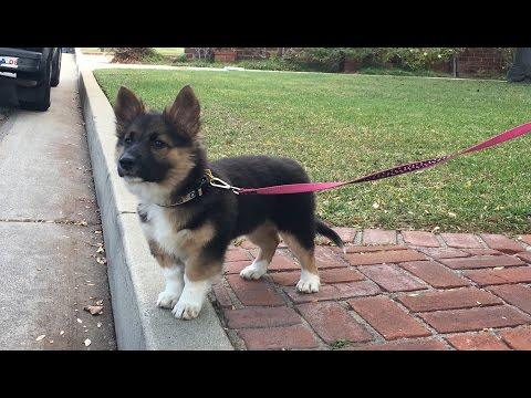 Puppy German Shepherd Corgi Chow Mix
