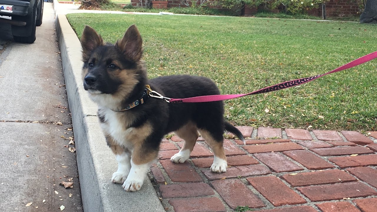 akita german shepherd corgi mix puppy german shepherd corgi chow mix youtube 4579