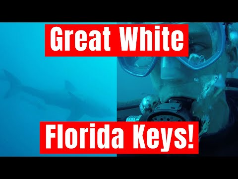Massive Great White Shark While Diving Wreck in the Florida Keys!