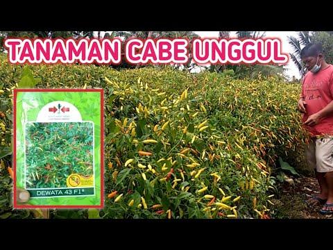 Review !! Tanaman Cabe Unggul Varietas Dewata 43 F1