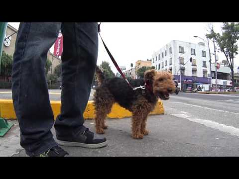 Fuka - Welsh Terrier - Going out for a Walk in Mexico City