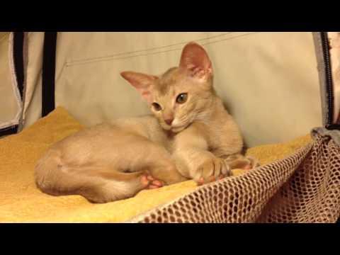 Египетская Мау, Породы Кошек, описание, уход - YouTube
