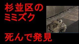杉並区のミミズク 死んで発見される thumbnail