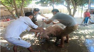 Bắt lợn bán cho thương lái, giá lợn hơi miên Bắc 90 nghìn đồng trên 1 kg