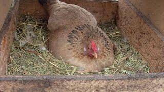 Гнездо для кур с яйцесборником