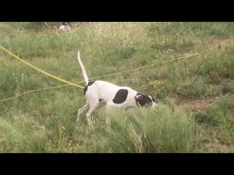 Started English Pointer Champion Elhew Pedigree 18 Male 8 Months
