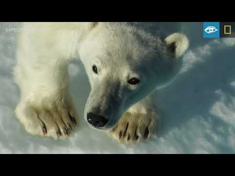 Land Of The Ice Bears | Arctic | Lindblad Expeditions-National Geographic