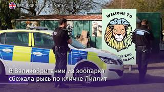 В Великобритании убили рысь, сбежавшую из зоопарка