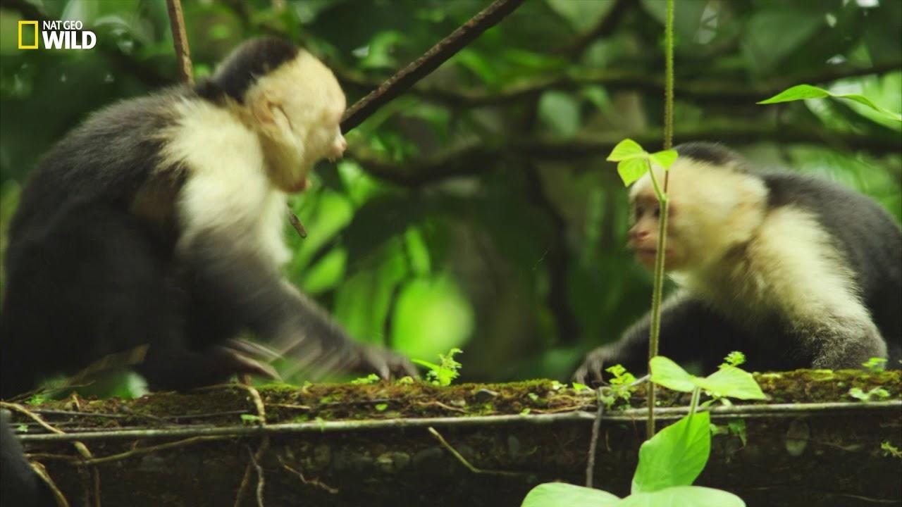 Colombie | Extrait : Capucin, singe machiavélique