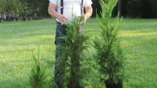 Fast Growing Trees.... Growth rate of Leyland Cypresses