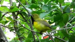Male Yellow-Bellied Sunbird singing.