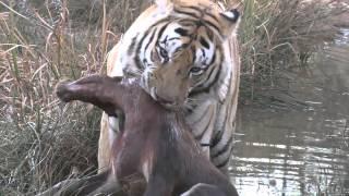 Tiger kills blesbuck at Tiger Canyons, South Africa
