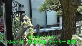 ポケットプードル(シルバー成長記録) 2010/11/13生 女の子成長記録Ⅱ テイー...